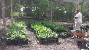 Producción de zapote en vivero comunitario de Hondo Valle